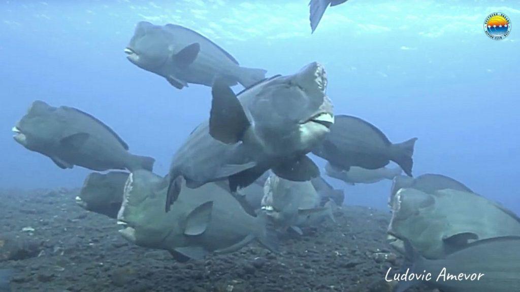 bali-pez-loro-jorobado