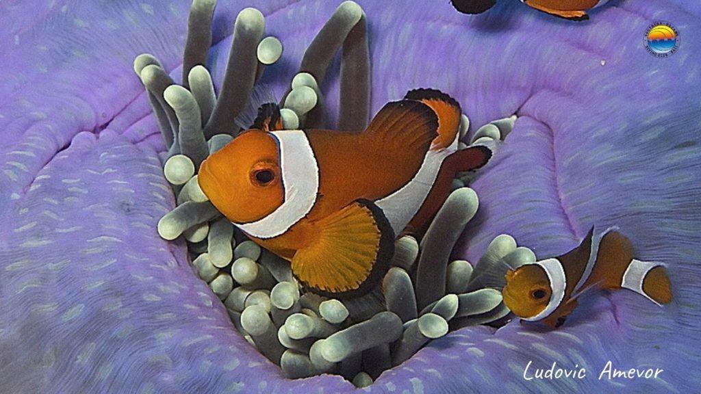 pez-payaso-falso