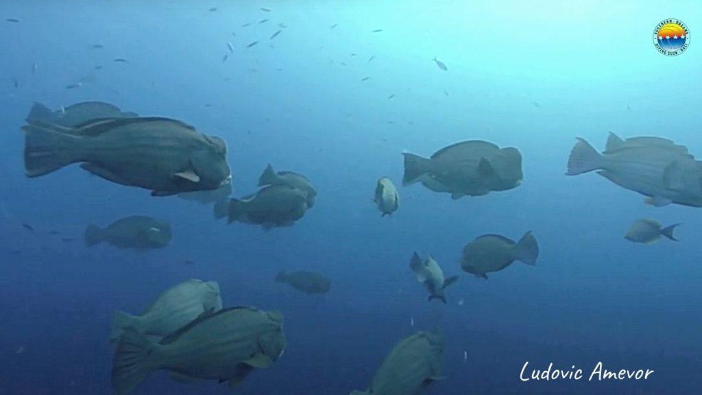 tulamben-pez-loro-jorobado