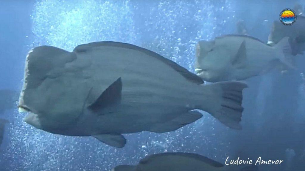 pez-loro-jorobado