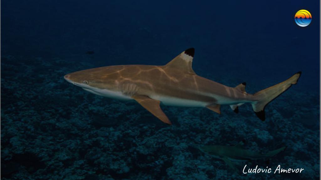 tiburon-punta-negra