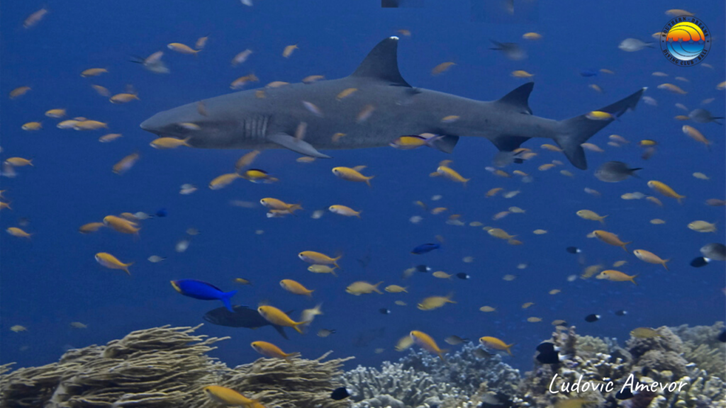 buceo-con-tiburones-en-bali